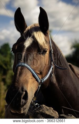 Horse Head Close Up On Summer Sky Background. Domestic Ungulate Is Tied To A Wooden Fence