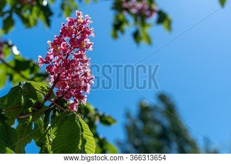 Aesculus Red Chestnut Flowers, Flowering Horse Chestnut Red Flowers, Sunny Day In May. Natural Detai