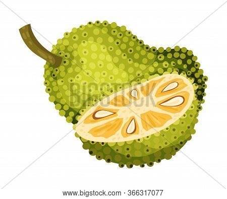 Jackfruit With Green Seed Coat And Cut Piece Showing Fibrous Core Vector Illustration