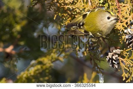 Goldcrest, Regulus Regulus. The Smallest Bird In Europe. Migrant. Lives In Coniferous Forests