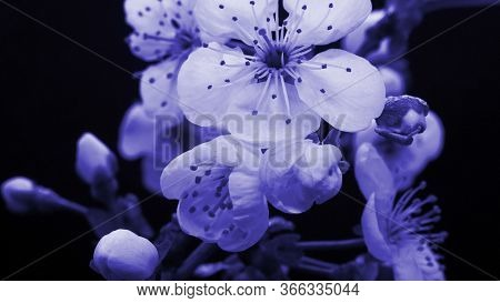 Spring Blue Flowers Opening. Beautiful Spring Plum Tree Blossom Open Timelapse, Extreme Close Up. Ti