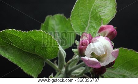 Blooming Blossom Apple Tree Flower In The Garden, Spring Time Lapse, Isolated On Black