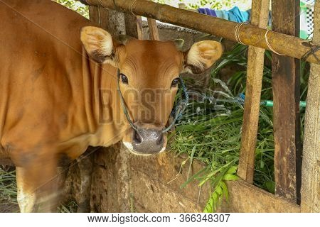 Shelter For Cows In Rice Fields. Brown Beef Cattle Stand In A St