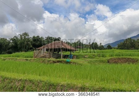 Beautiful Landscape View Of Rice Field With Shelter For Cows. Vi