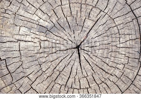 Wood Texture With Cracks Running From The Center. Poplar Cut Across