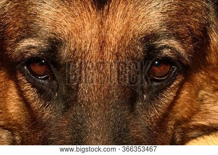 Close-up Portrait Of The Brown-eyed Gaze Of A German Shepherd Dog Looking Directly Into The Camera