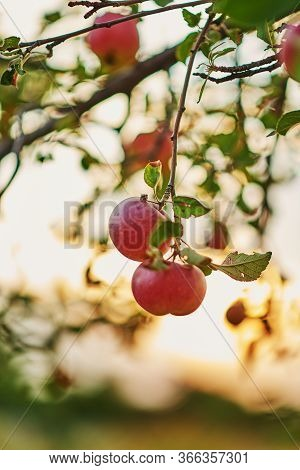 Ripe Apples In Orchard Ready For Harvesting. Shiny Delicious Apples Hanging From Tree Branch In An A