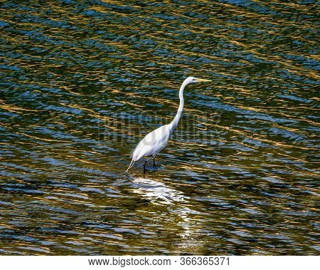 Beautiful Great White Egret Wading In Colorful River Water