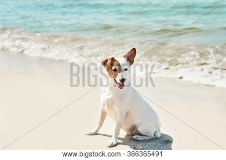 Dog Jack Russell Terrier On Beach. Tourism And Vacation On Ocean. Family Vacation In Summer. Vacatio