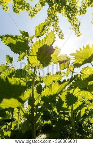 Green Nettles (urtica Dioica) Leaves From Below In Back Lit With Sun And Blue Sky