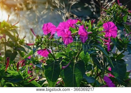 Purple Flowers Of Mirabilis Jalapa (marvel Of Peru Or Four O'clock Flower) In Garden