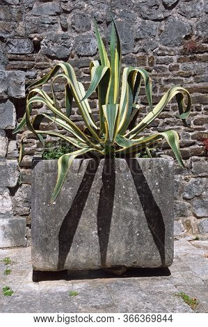 Agave ( Agave Americana ) In Giant Flower Pot Against Old Stone Wall. Montenegro, Tivat City