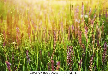 Beautiful Summer Landscape With Blossoming Meadow And Flowers. Wild Flowers Blooming Spring. Summer