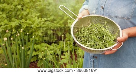 Woman holding a colander with harvested arugula rocket leaves, gardening and self sufficiency concept