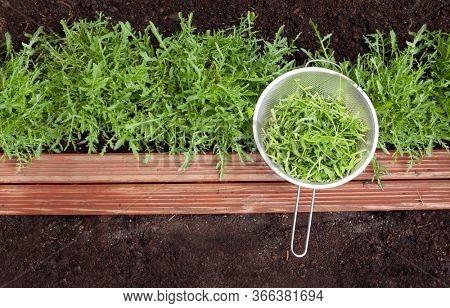 Arugula lettuce plant growing in the garden