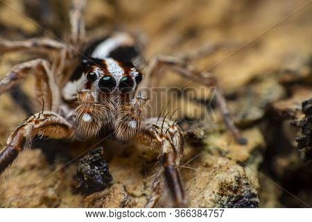 Close Up The Brown Jumping Spider Sticks On The Tree Branch. Jumping Spiders Have Some Of The Best V