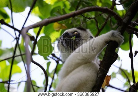 One Black And White Lemur Sits In The Crown Of A Tree, Vari, Sifaka