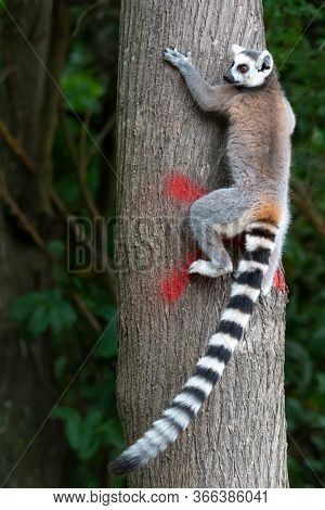 One Ring-tailed Lemur Climbs A Tree Trunk