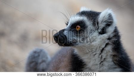 The Funny Ring-tailed Lemurs In Their Natural Environment