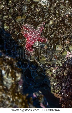Close Up Of A Purple Ochre Sea Star Clinging To A Rock In The Southern Oregon Coast Exposed By The L