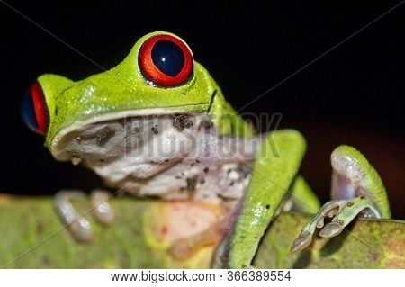 Red-eyed Tree Frog, Agalychnis Callidryas, Tropical Rainforest, Corcovado National Park, Osa Conserv