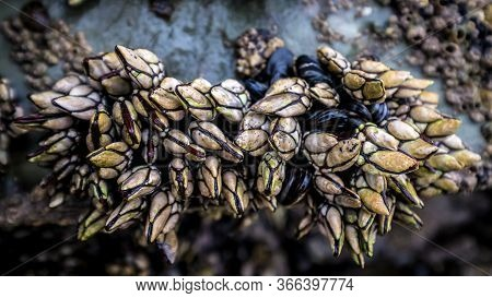 Percebes Natural Live Barnacles On Cliffs Above The Marine Environment Sea Crustacean Seafood Galici