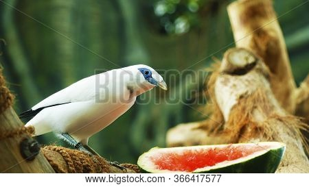 The Bali Myna Bird (leucopsar Rothschildi), Also Known As Rothschild's Mynah, Bali Starling, Or Bali