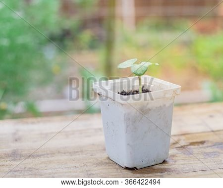 Shallow Dof White Nursery Pot With Young Okra Or Lady Finger Seedling And Blurred Garden Background