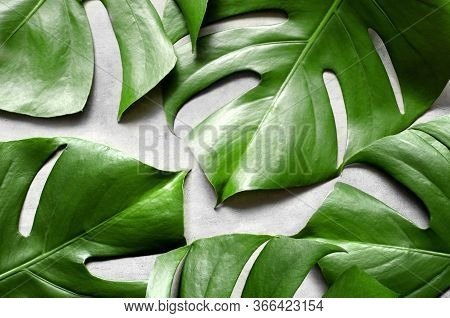 Monstera Leaf On Grey Concrete Background. View From Above. Monstera Background. Summer Nature Spa F