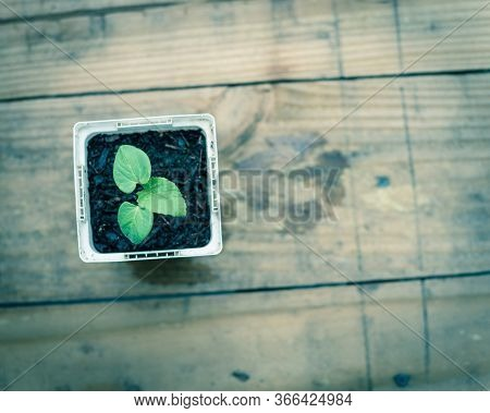 Close-up Okra Or Lady Fingers Seedling In White Nursery Pot On Wooden Table Background