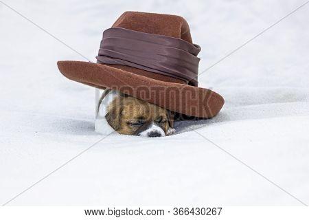 Cute Puppy Bitch Jack Russell Terrier Sleeping Under A Felt Hat. White Background