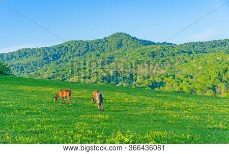 Horses Graze In The Meadow.horses Graze In The Meadow