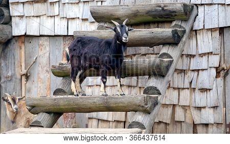 Goat, Black Goat, Domestic Goat, Black Goat Portrait