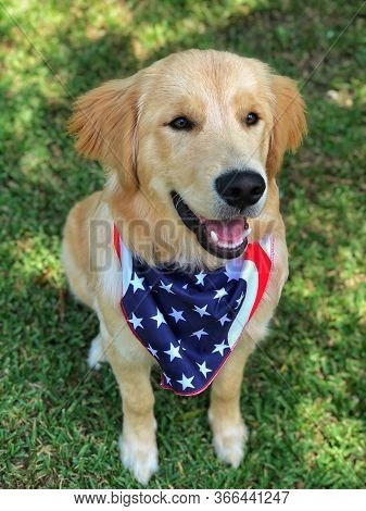 Smiling Golden Retriever Pup - 4th Of July
