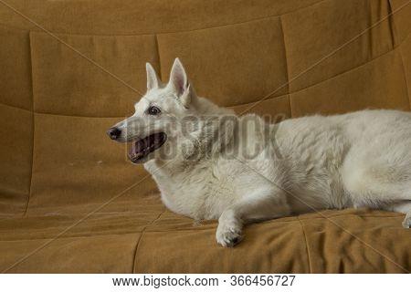 The White Frisky Cheerful Shedding Dog Of The West Siberian Husky Dog Laika Climbed Up Without A Dem