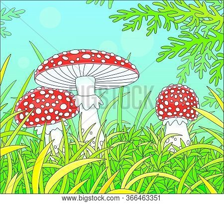 Three Poisonous Fly Agarics With Bright Red Caps And White Spots Hiding Among Thick Grass On A Prett