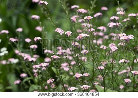 Forget-me-not Flower (myosotis Scorpioides) - Delicate Pink, Blue, White Flower Blooms In The Spring