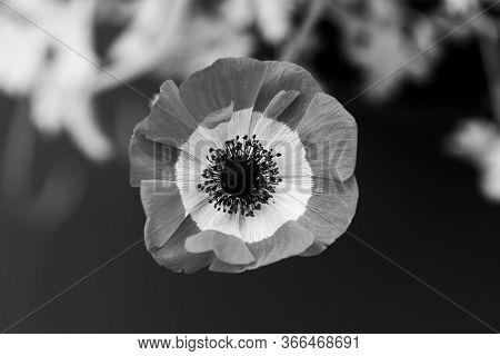 Red Anemone Coronaria, Known As The Poppy Anemone, Spanish Marigold, Or Windflower In Black And Whit