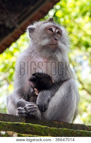 Thoughtful monkey with a baby at sacred monkey forest Ubud Bali Indonesia poster