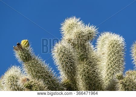 The Cacti Of Arizona's Sonoran Desert Stand Like A Vast, Silent Army At Organ Pipe Cactus National M