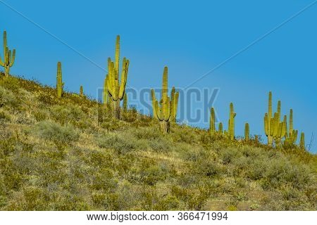 Cacti In Hilly Landscape At The Desert In New Mexico, Usa