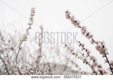 Spring Flowering Period, Awakening Of Nature. Tender Flowering Apricot Tree In Garden. Layout For De