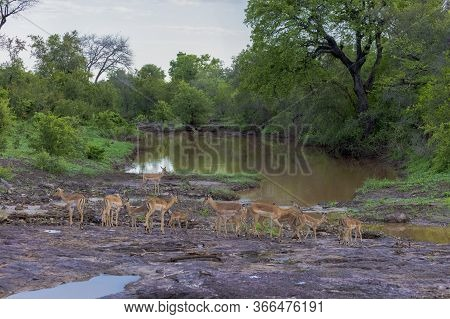 A Small Herd Of Impala Graze Near The Edge Of A River In Zimbabwe