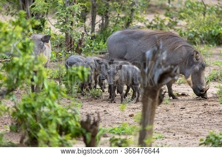 A Young Warthog Looks Towards The Camera As The Rest Of Its Family Browses For Food In A Clearing In