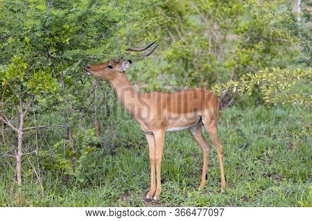 A Male Impala Feeds From A Small Tree In A Forest In Zimbabwe