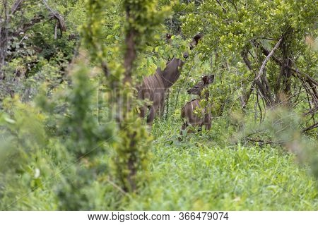 A Mother Kudu With Calf Conceal Themselves In The Forest. Kudu Can Be Very Hard To See In The Forest