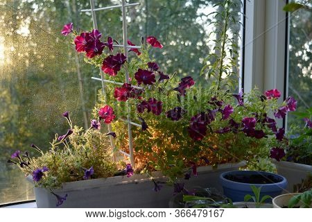 Petunias Are Fabulous Flowers That Grow In Container In Cozy Garden On The Balcony. Beautiful View A