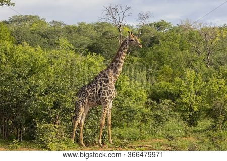 A Lone Giraffe Steps Out Of The Forest While Browsing