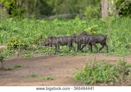 A Small Group Of Baby Warthogs Run Across A Forest Path In Zimbabwe