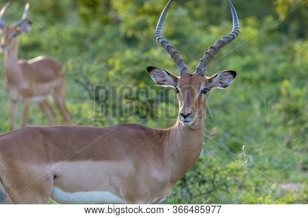 An Adult Male Impala Displays Its Horns As It Watches For Predators. A Second Male Is In The Backgro